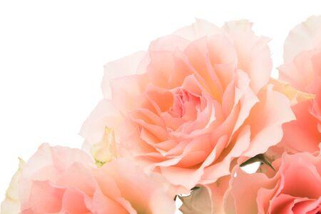 Rosa Rosen auf Weiß Standard-Bild
