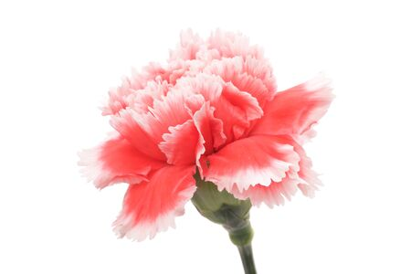 Red pink carnation isolated on white background Stock fotó
