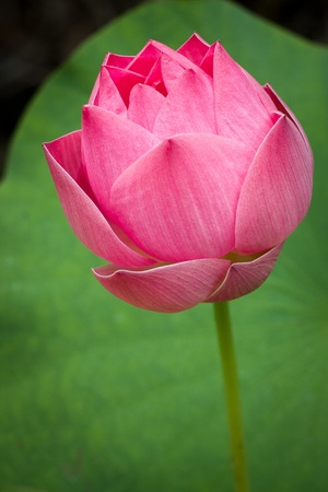 lotus Stock Photo - 15352330