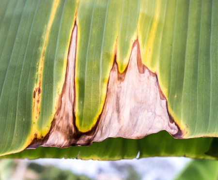 dry leaf: Banana Leaves, brown, yellow and green