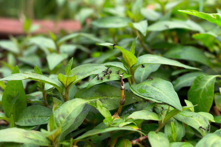 edibles: Persicaria odorata Vegetable with ant on green leaf