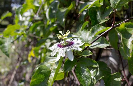 passion fruit flower: Passion fruit flower Stock Photo