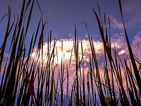 backlight: Dark sky with  cattail,backlight background