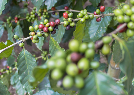 coffee tree: The raw coffee and coffee tree