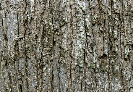 lichen: The bark of the tree with lichen,wood shell
