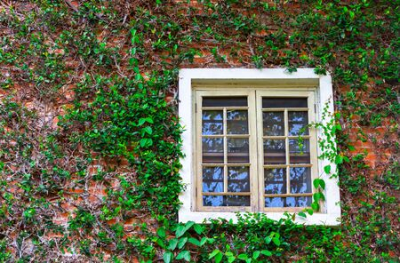 Creeping fig on brown brick wall with white window
