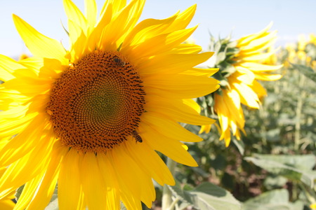 sunflower seed: Semi di girasole