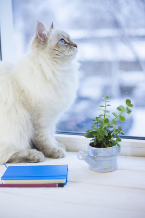 A beautiful point-seal siberian female cat with blue eyes is sitting on a window sill with a plant in a pot and blue notepad