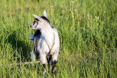baby goat: goat pastures in the village on a background of green grass