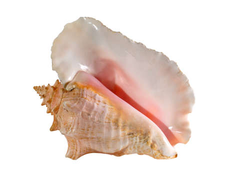 Sea shell isolated on a white background. Beautiful seashell