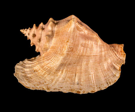 Sea shell isolated on a black background. Beautiful seashell