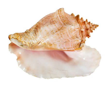 Sea shell isolated on a white background. Beautiful seashell Banque d'images