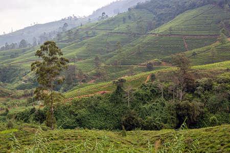 Tea tree plantations. The hills where tea is grown. Sri Laika