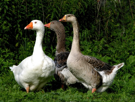 curiously: Two African geese and an Embden goose peer curiously at a noise in the barnyard nearby.