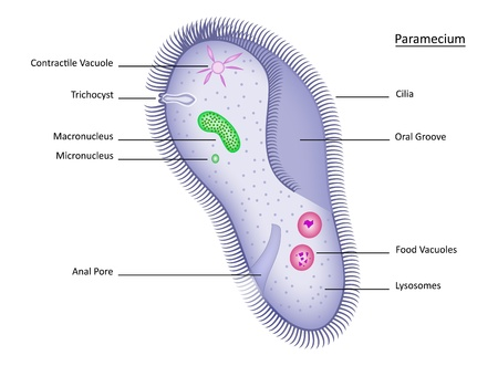 Colorful and clearly labelled illustration of single-celled paramecium