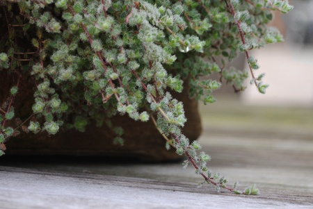 groundcover: Close-up of Wooly thyme groundcover plant Stock Photo