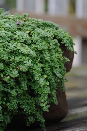 Close-up of creeping thyme groundcover plant Stock Photo