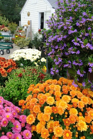 Cottage garden and rainbow of chrysanthemums Stock Photo