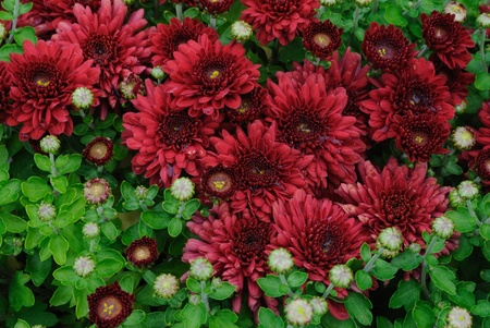 Carpet of burgundy chrysanthemums