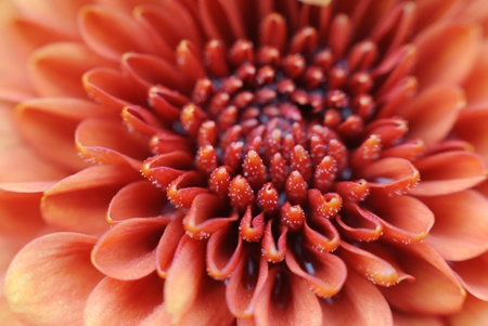 Close-up of pollen on velvety orange flower petals