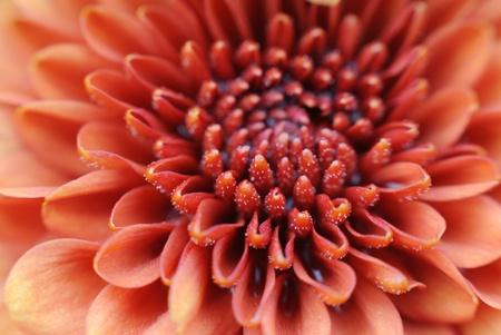 velvety: Close-up of pollen on velvety orange flower petals
