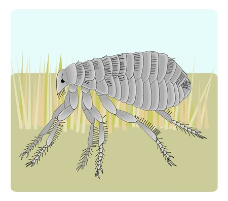 illustration of the domestic dog flea, with its spiky little legs and gripping parts.