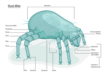 House Dust mite Stock Vector - 15482130