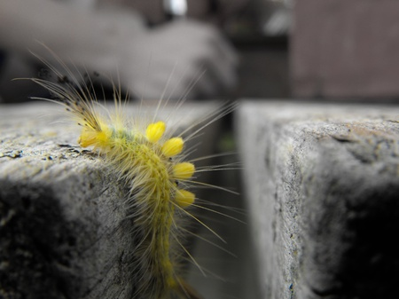 Definite-Marked Tussock Moth caterpillar Stock Photo