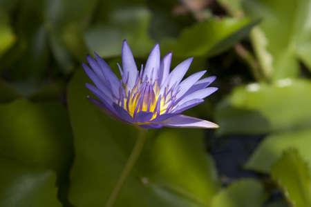 Lotus Stock Photo - 15955026