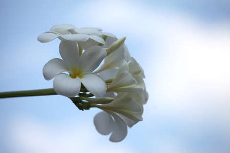 Frangipani Stock Photo - 17190474