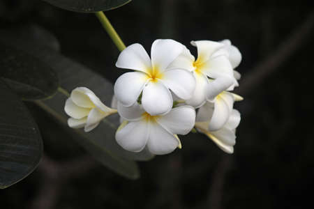 Frangipani Stock Photo - 17190475