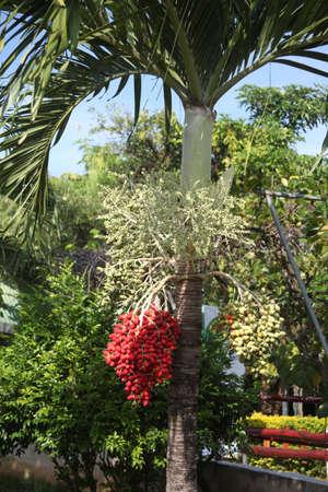 Betel palm  Mak Daeng Stock Photo - 17190537