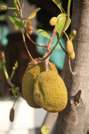 Jackfruit Trees Stock Photo - 17456684