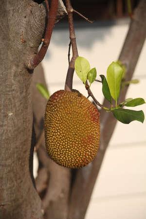 Jackfruit Trees Stock Photo - 17456683