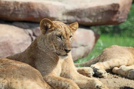 Lions resting  photo
