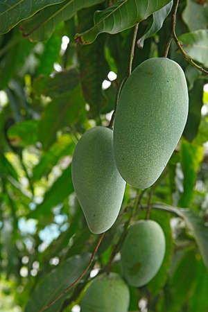 Fresh green mango with mango leaves isolated photo