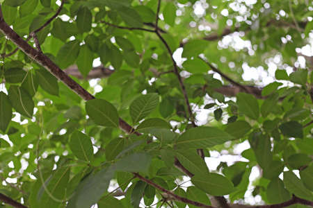 The leaves of mango trees on the background bokeh. photo
