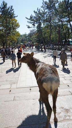 Japanese deer in Nara national park Stock Photo
