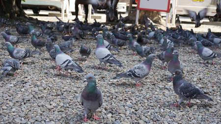 Pigeons live instrumentation Japan