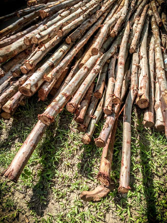 Eucalyptus tree. Pile of wood logs ready for industry