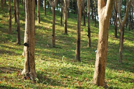 Rubber tree farm on mountain daytime photo