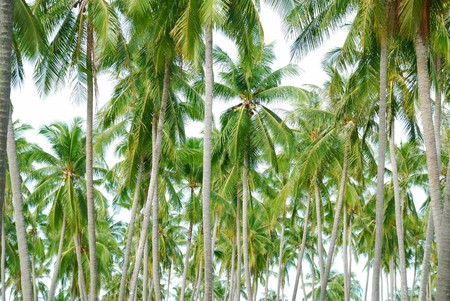 Arranged in a row, the coconut trees, green Leaves