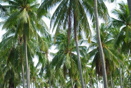 Arranged in a row, the coconut trees, green Leaves Stock Photo - 7438428