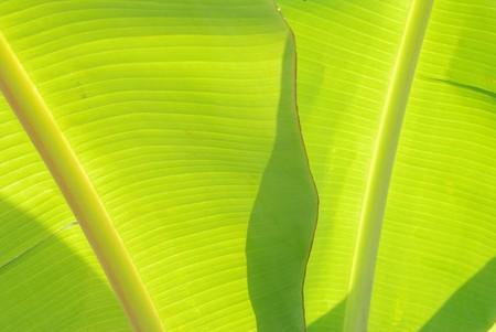 Green banana leaves. Used as a beautiful backdrop photo