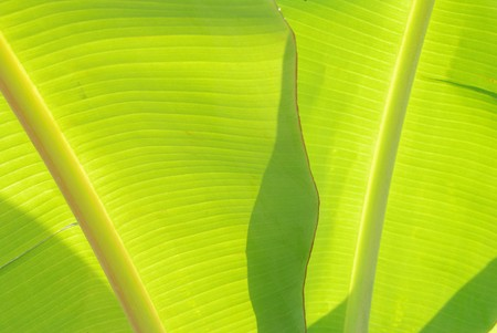 Green banana leaves. Used as a beautiful backdrop