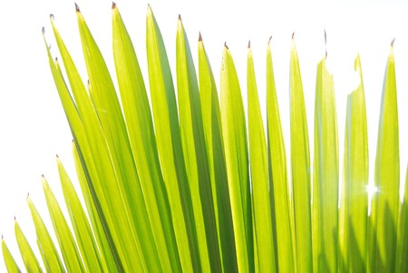 manner: Green leaves of palm trees. , A radial manner
