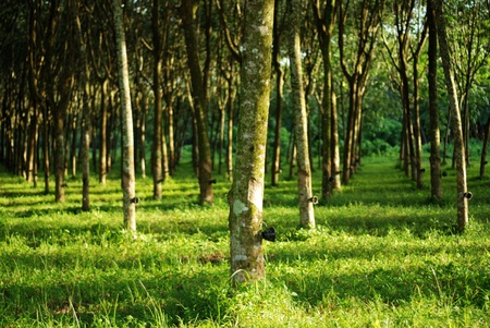Rubber planting in rows for agriculture Stock Photo