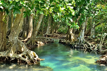 swamp: Mangrove forests   swamp   with river
