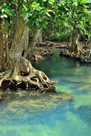 Mangrove forests   swamp   with river