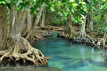 mangrove forest: Mangrove forests ( swamp ) with river Stock Photo